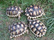 3 Jahre alte Breitrandschildkröten