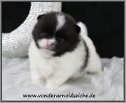 Mini Teacup Pomeranian Rüdenwelpe gescheclt