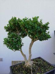 Bonsai Buchsbaum!! 13