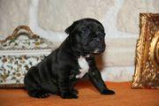 Wunderschöne französische Bulldoggen welpen sreder