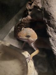 Leopardgecko Weibchen adult