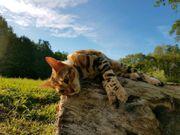 Reinrassige Bengal Kitten Kater Katze