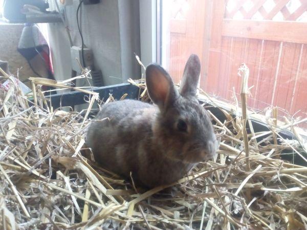 Verkaufe junge Kaninchen » Kleintiere