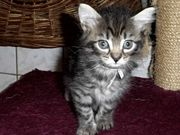 Maine - Coon - Kitten -