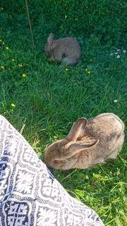 Zwei Kaninchen (weibl.)