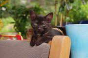 Kuschelpartner für schwarze Katze gesucht