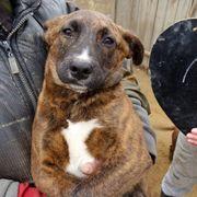 Leni, Boxer-Labrador-