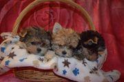 Süße MINI Yorkshire Terrier Welpen
