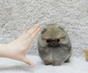 Suche Pomeranian