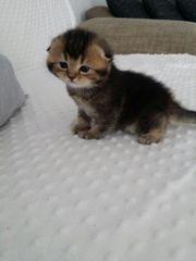 BKH Scotisch-Fold Kitten