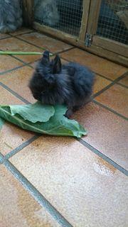 Kaninchen ( Teddyzwergkaninchen )