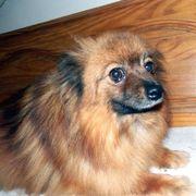 Pomeranian Mix ADUA*