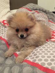Reinerassige Pomeranian BOO