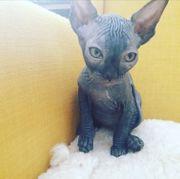Reinrassige Edel Kitten (