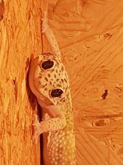 Leopardengecko Männchen