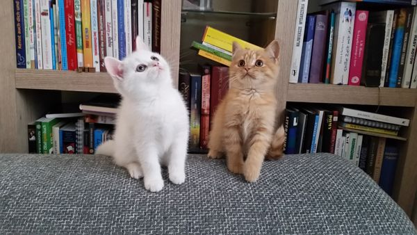 Britische Kurzharr Kaze » Katzen