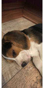 Beagle Welpe (Rüde,
