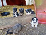 Wunderschöne Kaukasische Hundewelpen