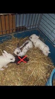 Kaninchenbabys