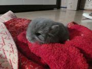 Chinchilla Baby Böckchen