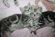Silver Tabby Babys