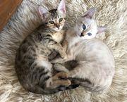 2 Bengal Kitten,