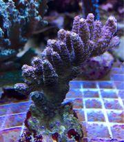Meerwasser: Korallen, Seesterne,