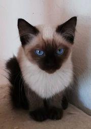 Zauberhafte Siam Ragdoll Kitten 2