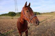 Verkaufspferd - sehr brav und verschmust -