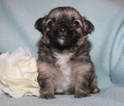 Chihuahuawelpen aus seriöser Zucht