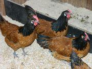 Vorwerk-Hühner Zuchtstamm