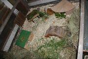 Biete Endplatz für Meerschweinchenweibchen