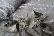 Wunderschöne Katzenbabys