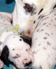 Dalmatinerwelpen aus VDH-Zucht suchen ihr