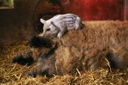 Mangalitza Schwein (Wollschwein)