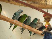 Katharinasittiche grün blau cremino