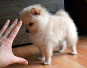 Mini-Pom Zwergspitze Pomeranian hübscher Welpe-Rüde