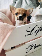 Süsse Chihuahuawelpen Reinrassig Rude 9