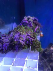 Meerwasser Korallen 5-10 Versand