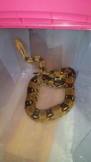 Boa constrictor mit/