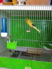 Yorkshire Kanarienvögel kanarien