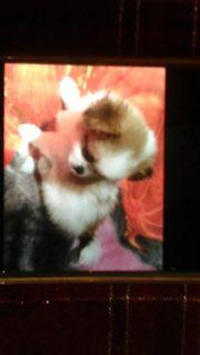 Shizu Chihuahua Welpen