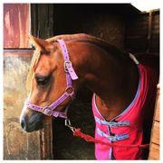 Welsh Pony Wallach (