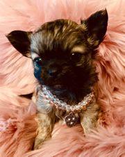 Mini Chihuahua Welpe Hündin mit