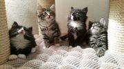 Norwegische Waldkatzen - Kitten