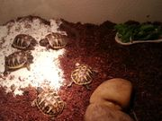 griechische Lanschildkröten Babys Testudo hermanni