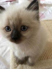 wunderschöne Birma Kätzchen
