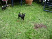 hübsche Chihuahua - Welpen (