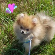 Mirco Teacup Pomeranianwelpe orange