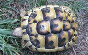 weibliche Griechische Landschildkröte 3 Jahre
